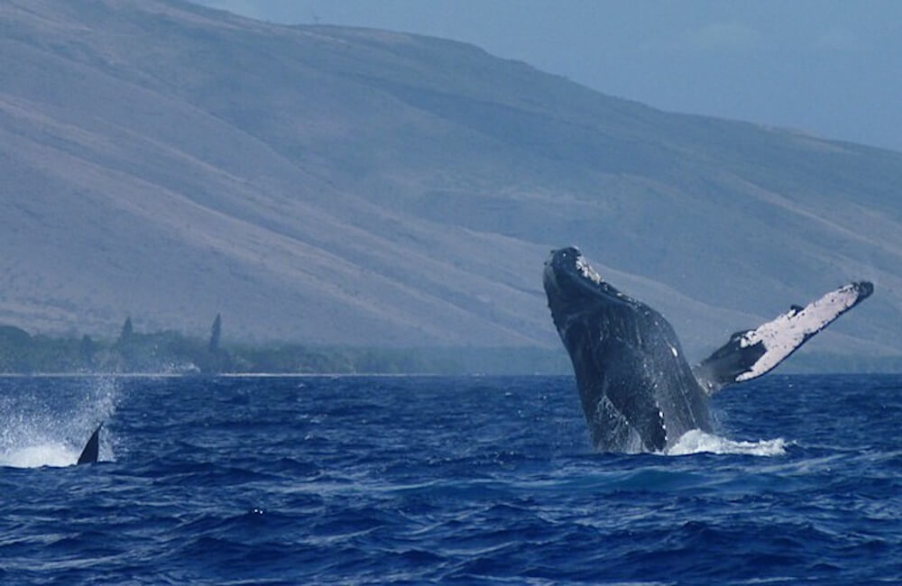 Whales, Maui Must Dos